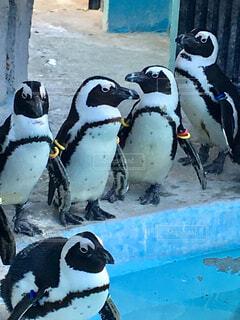 上野動物園のペンギンの写真・画像素材[1834038]