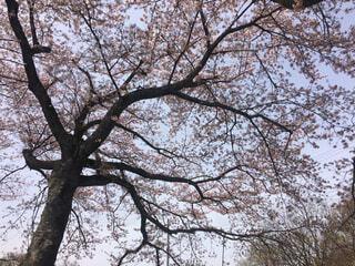 桜の写真・画像素材[1699120]