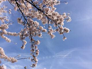 桜満開の写真・画像素材[1699122]