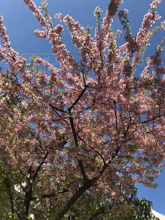 梅の木の写真・画像素材[1832460]