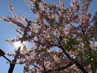 梅の木の写真・画像素材[1832462]