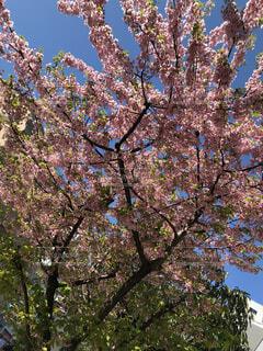 梅の木の写真・画像素材[1832463]