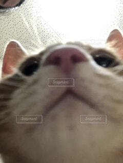 近くにカメラを見て猫のアップの写真・画像素材[1702137]