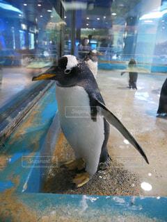 ペンギンの写真・画像素材[1705066]