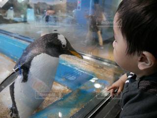 ペンギンを見ている子供の写真・画像素材[1705067]