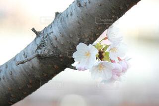 桜の写真・画像素材[1702545]