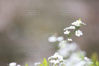 白い花の写真・画像素材[1702548]