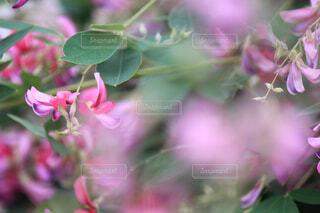 萩の花の写真・画像素材[1702649]