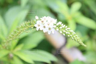 白い花の写真・画像素材[1703715]