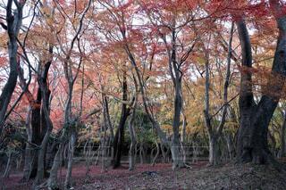 紅葉した森の写真・画像素材[1702648]