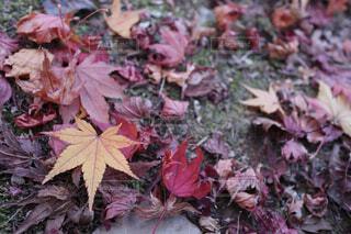 紅葉した落ち葉の写真・画像素材[1702652]