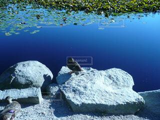 水辺の鳥@スタンレーパークの写真・画像素材[1703220]