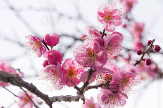 梅の写真・画像素材[1759050]