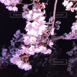 ある日の夜桜の写真・画像素材[1938276]
