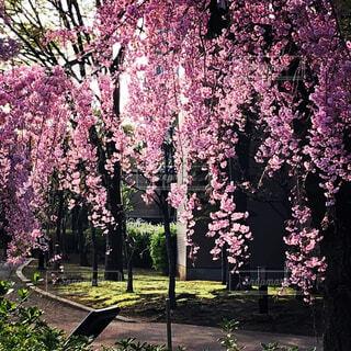 朝日に輝くしだれ桜の写真・画像素材[1704127]