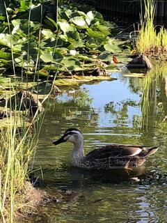 公園の池に咲く睡蓮を背景に泳ぐカモの写真・画像素材[1704236]