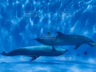 イルカの追いかけっこの写真・画像素材[1706744]