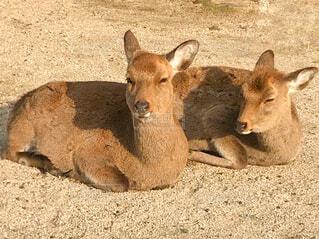 日向ぼっこする鹿の写真・画像素材[1780633]