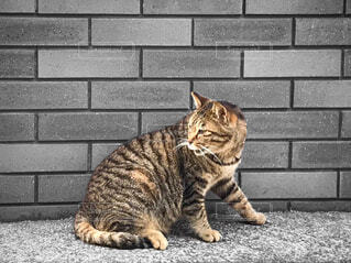 後ろを振り返る猫の写真・画像素材[1820160]