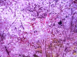 夜桜の写真・画像素材[1962590]