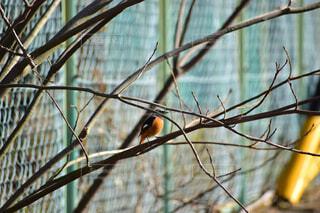 黄色の鳥が木の枝に止まってたの写真・画像素材[1704631]
