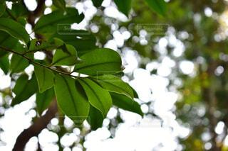 木の葉の写真・画像素材[1704633]
