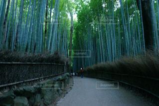 京都嵐山の竹林の写真・画像素材[1704702]