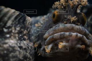 深海の魚、ウサギンボ!の写真・画像素材[1705259]