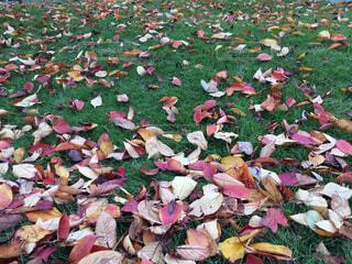 草の上の落ち葉の写真・画像素材[1704792]