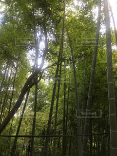 鋸山にて竹林の写真・画像素材[1704798]
