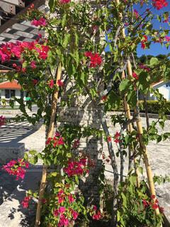 南国沖縄のブーゲンビリアの写真・画像素材[1705370]