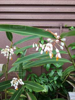 沖縄を代表する花の写真・画像素材[1710455]
