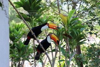 ネオパークオキナワにいたカラフルな南国の鳥オニオオハシ♪の写真・画像素材[3912181]
