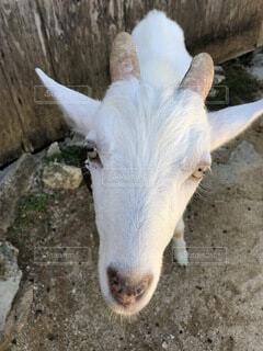 物言いたげなヤギ!の写真・画像素材[3917302]