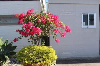 ブーゲンビリアのピンク色が映えます!の写真・画像素材[3920487]