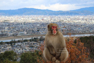 背景が京都   佇むニホンザルの写真・画像素材[1705760]