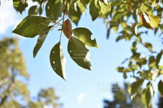 空と葉 冬はこれからの写真・画像素材[1705785]