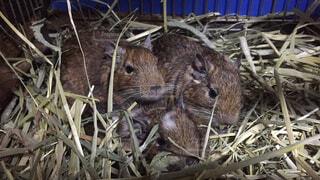 干し草の山を食べる齧歯動物の写真・画像素材[1712600]
