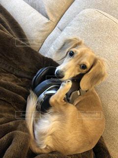 ソファの上に横たわる犬の写真・画像素材[1706425]