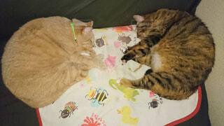 ソファの上で横になっている猫☆実は兄弟☆の写真・画像素材[1711343]