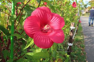 植物の赤い花の写真・画像素材[1707265]