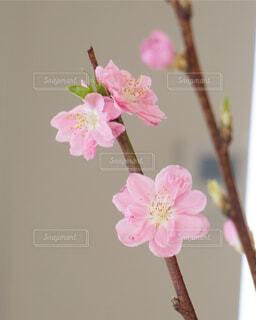 桃の花の写真・画像素材[1707256]