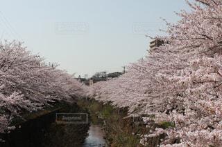 名所の桜並木の写真・画像素材[1709745]