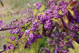 実りの秋の写真・画像素材[1709757]