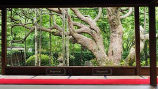 宝泉院 五葉松の写真・画像素材[1787592]