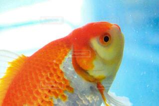金魚の写真・画像素材[1712267]