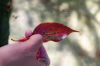 赤いリンゴを持つ手の写真・画像素材[1713399]