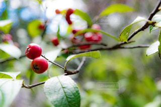 近くに果物の木のアップの写真・画像素材[1730978]