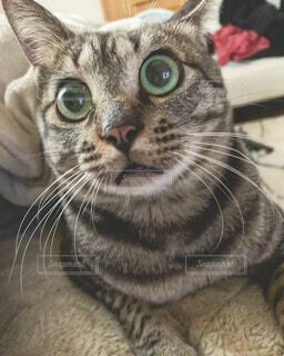 お目目がまん丸猫さん。の写真・画像素材[1710997]