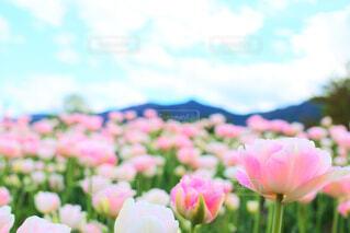 チューリップ畑と青空の写真・画像素材[1711661]